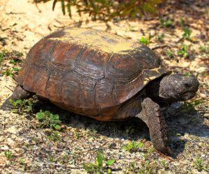 Gopher tortoise (Gopherus polyphemus) walking around in the desert