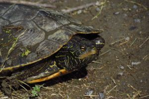 Graptemys geographica (Northern Map Turtle)