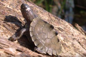 Graptemys ouachitensis