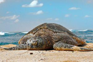 Grean-Sea-Turtle-Chelonia_Mydas