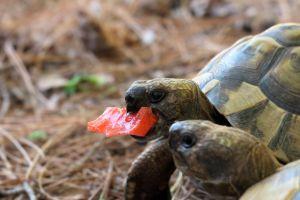 Greek tortoise eating watermelon next to other tortoise