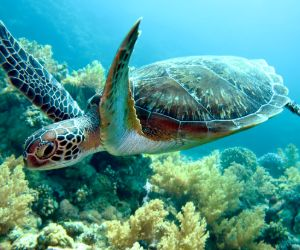 Green Sea turtle (Chelonia mydas) swimming in the ocean