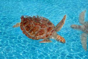 Green sea turtle (Chelonia mydas) is swimming