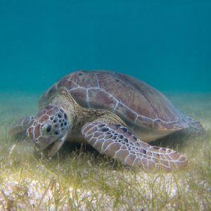 Green_Sea_Turtle_grazing_seagrass