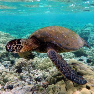 Green sea turtle_swimming_over_coral_reefs_in_Kona