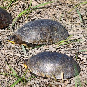 Group of blandings turtles in illinois