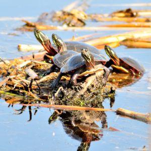 Group of painted turtles basking