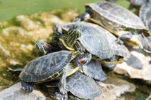 Group of red ear slider turtles stacking on rocks