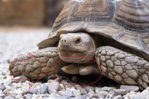 Male Tortoise Gular Scute