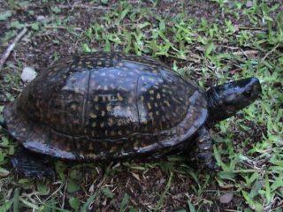 Gulf Coast Box Turtle (Terrapene_carolina_major)