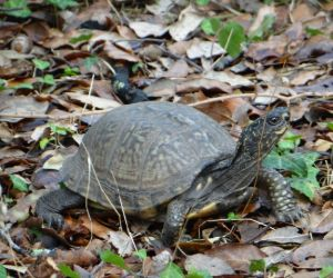 Gulf Coast Box Turtle looking around (Terrapene carolina major)