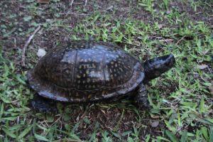 Gulf Coast Box Turtle on grass (Terrapene_carolina_major)