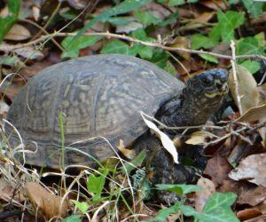 Gulf coast box turtle exploring in the woods (Terrapene carolina major)