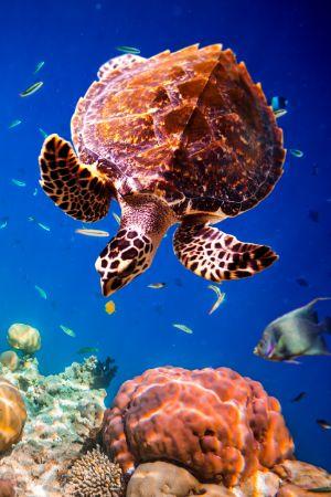Hawksbill Sea Turtle swimming in ocean (eretmochelys imbricata)