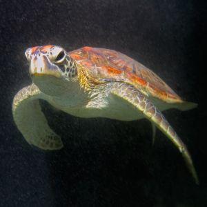 Hawsbill Sea turtle (Eretmochelys imbricata ) swimming deep in the ocean