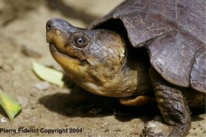 Sideview of head of a Siebenrockiella leytensis (Philippine Forest Turtle)