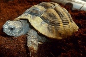 Hermann-Tortoise