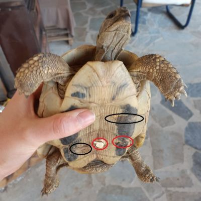 Hermanns Tortoise with shell rot