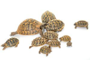 Matamata Turtle Chelus Fimbriata All Turtles Mada mada dane (まだまだだね) is a phrase that has been popularized by ryoma echizen. matamata turtle chelus fimbriata