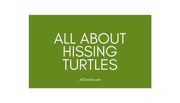Hissing Turtle