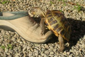 Horsefield's Tortoise trying to mate with shoe on rocks