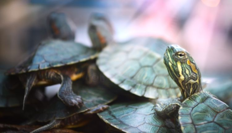 How Do Turtles Communicate