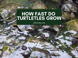 How Fast Do Turtles Grow