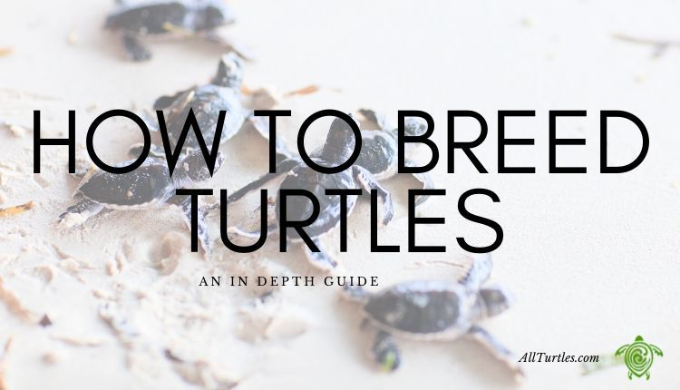 How to Breed Turtles