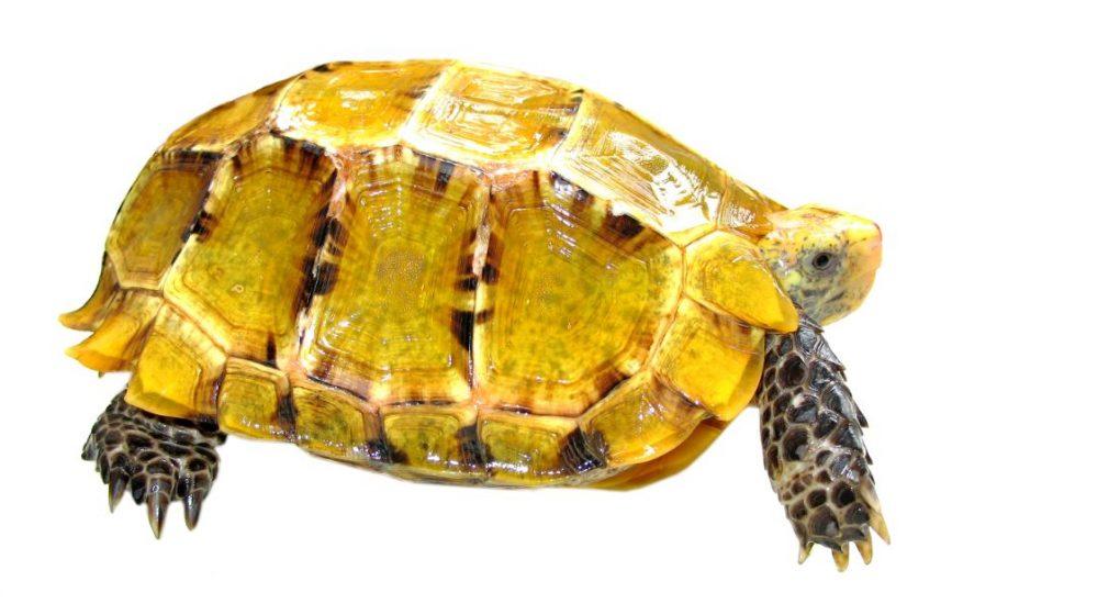 Impressed Tortoise