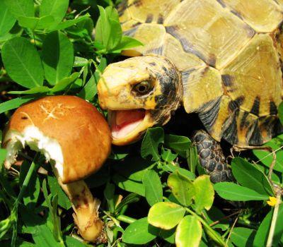 Impressed Tortoise Diet