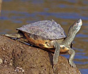 Indian tent turtle (Pangshura tentoria tentoria)