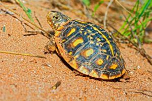 Juvenile Ornate Box Turtle Basking In A Canyon, Garza County Texas