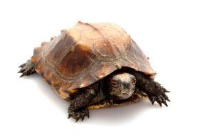 Keeled Box Turtle