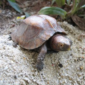 Keeled box turtle in sand
