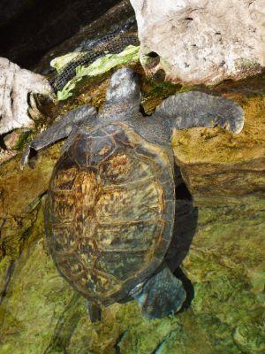 Kemp's-Ridley-Sea-Turtle