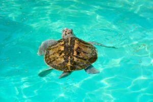 Kemp's Ridley Turtle (Lepidochelys kempii), also called the Atlantic ridley sea turtle