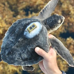 Kemp's ridley sea turtle (Lepidochelys kempii) that has been outfitted with a miniature, solar-powered satellite transmitter