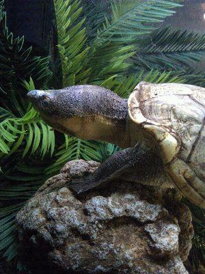 Lake Chapala Mud Turtle (Kinosternon hirtipes chapalaense)