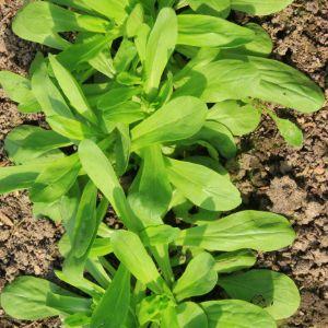 Lambs Lettuce (Valerianella locusta)