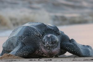 Leatherback Sea Turtle (Dermochelys coriacea) on beach