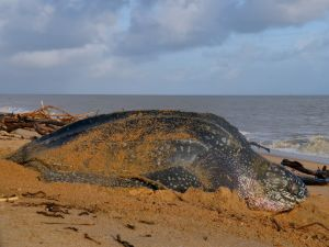 Leatherback Sea turtle (Dermochelys coriacea) laying eggs on beach