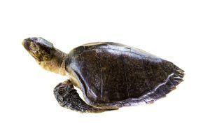 Leatherback sea turtle isolated on white background