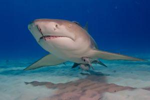 Lemon shark swimming in ocean