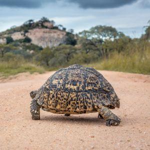 Leopard Tortoise in kruger national park south africa