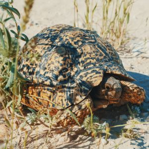 Leopard tortoise by grass getting some shade