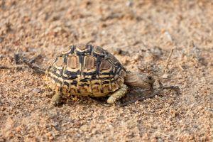 Leopard tortoise eating