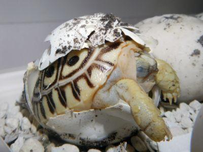 Leopard tortoise hatching