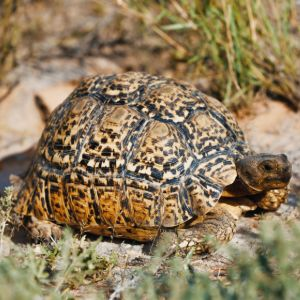 Leopard tortoise in South African national park