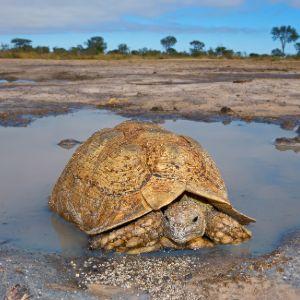 Leopard tortoise in water soaking in South Africa