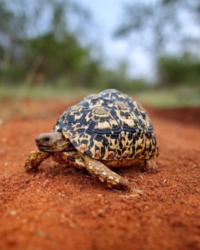 Leopard tortoise on Red dirt